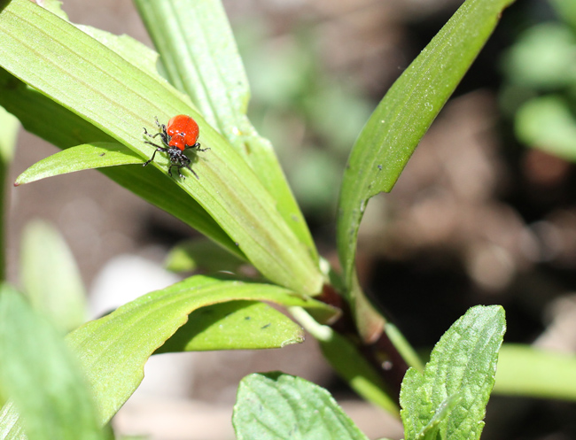 Red Lily Beetle on Leaf