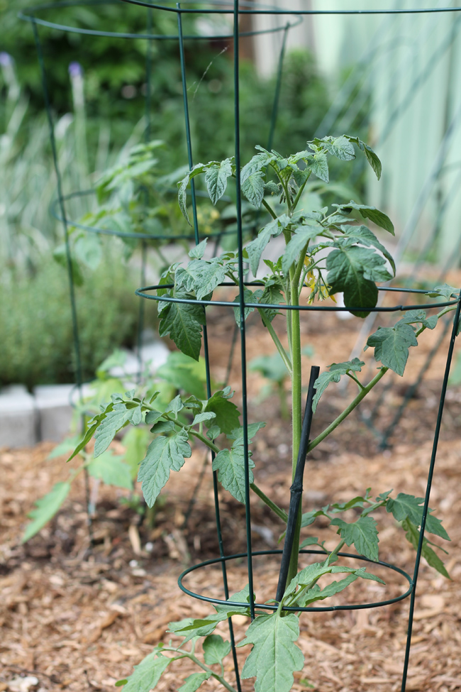 Tomato Plant and Cage