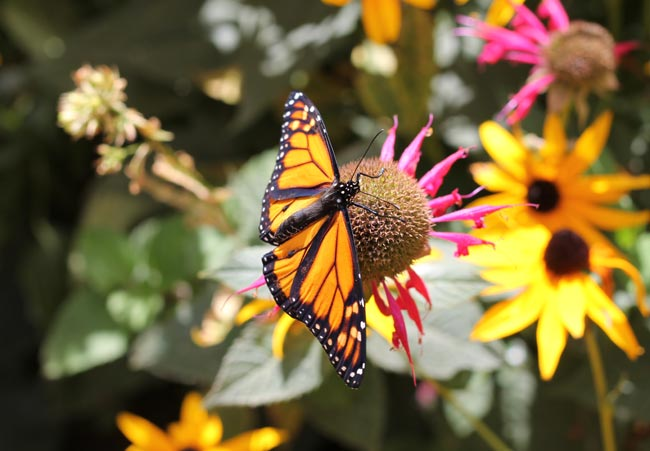 monarch-open-on-monarda