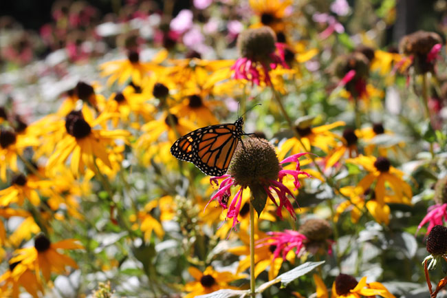 monarch-side-view-on-monarda