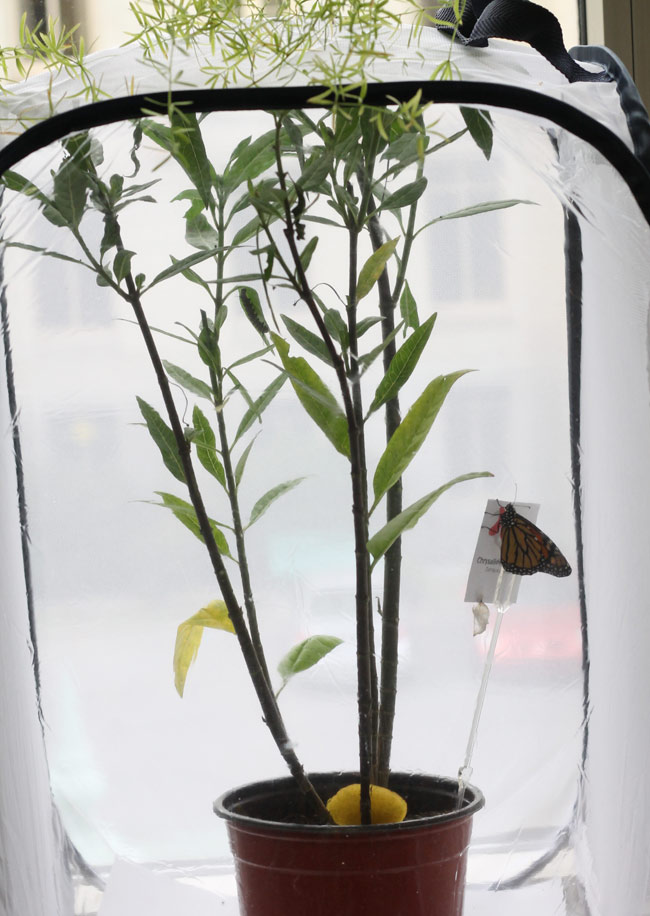 monarch-tent