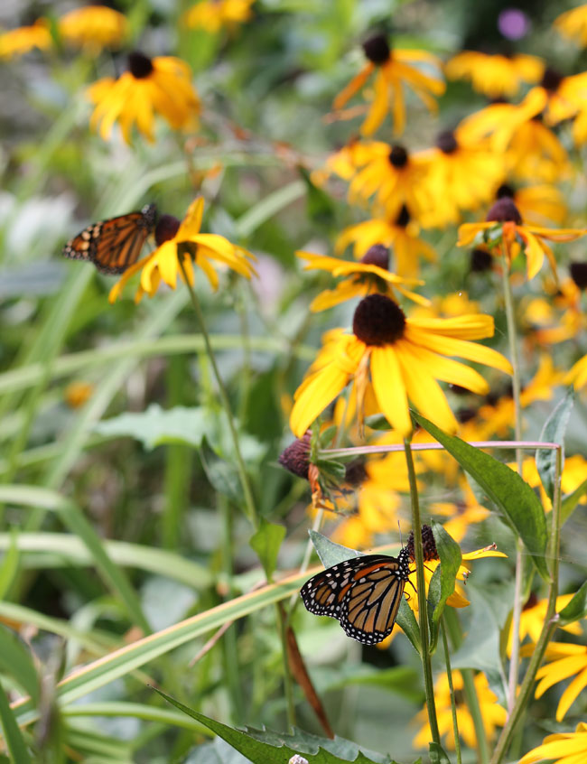 two-monarchs-on-yellow-flowers