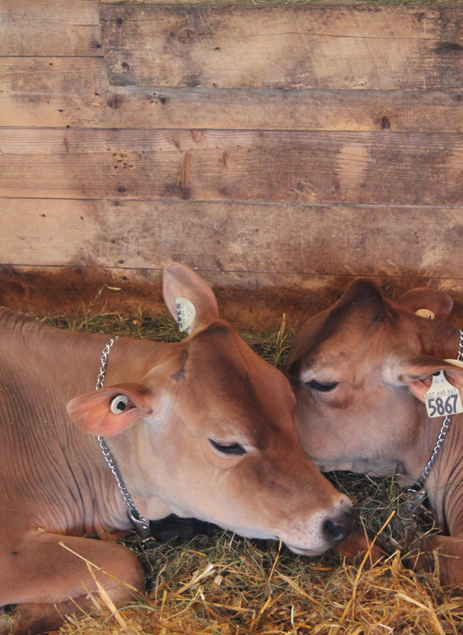 cows-and-love