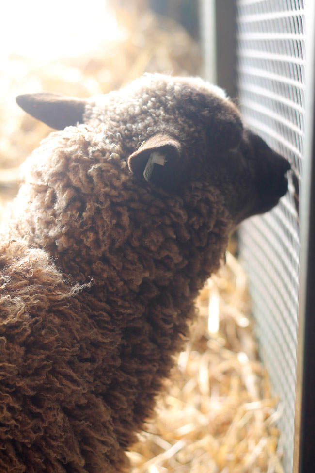 rhinebeck-backlit-sheep
