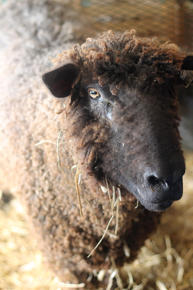 rhinebeck-brown-sheep