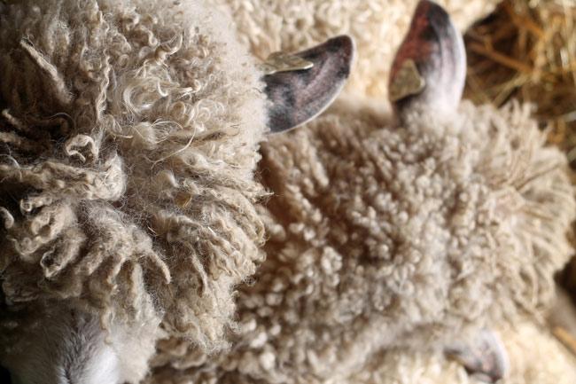 rhinebeck-two-sheep